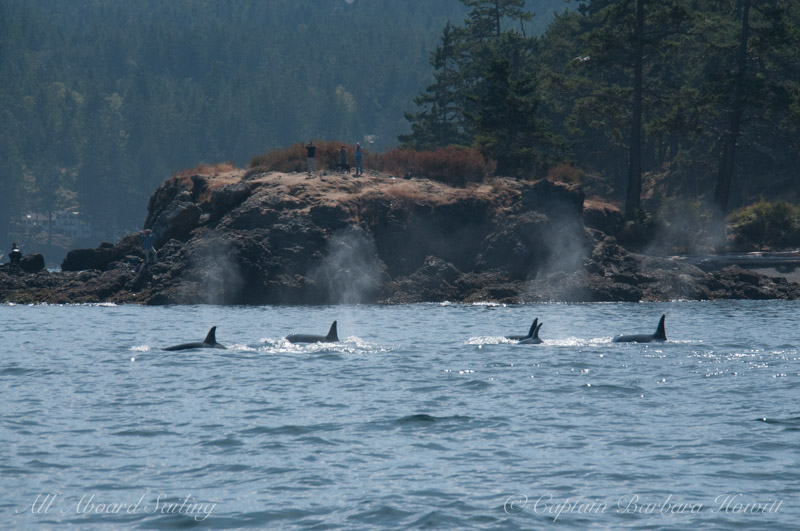 Whale watching sailing with Transient Orcas in San Juan Channel