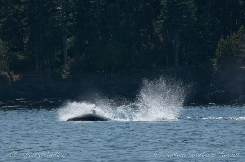 Whale watching sailing with Transient Orcas hunting San Juan Island