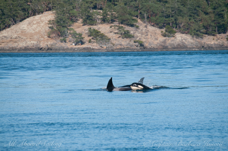 Whale watching sailing with Transient Orcas San Juan Island