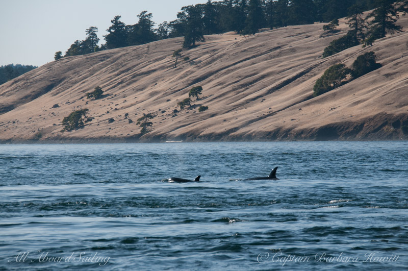 Whale watching sailing with Transient Orcas Spieden Island