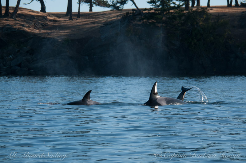 Whale watching sailing with Transient Orcas hunting in New Channel San Juan Island