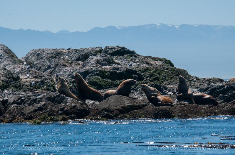 Steller Sea Lions at Whale Rocks, San Juan Island