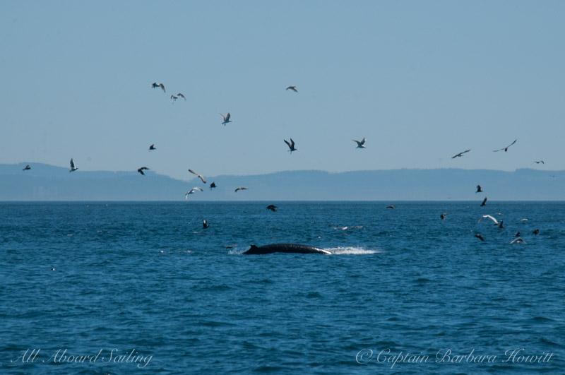 Minke Whale feeding at Salmon bank, San Juan Island