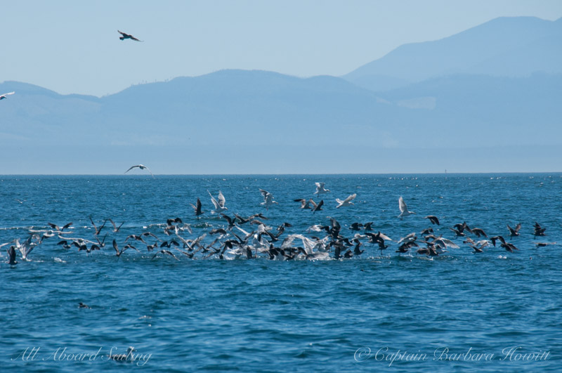 Feeding frenzy at a bait ball off Salmon Bank, San Juan Island