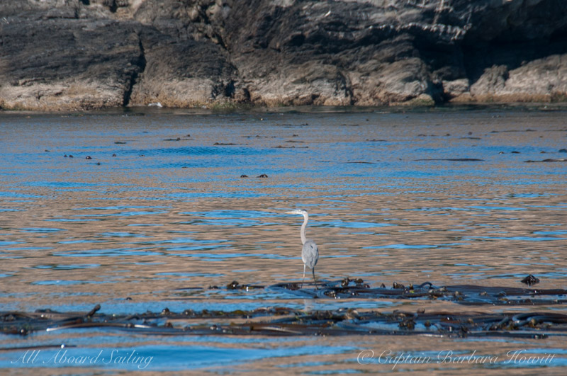 Great Blue Heron stands and waits on bull kelp