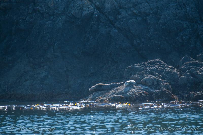 Harbor Seals, Lopez Island
