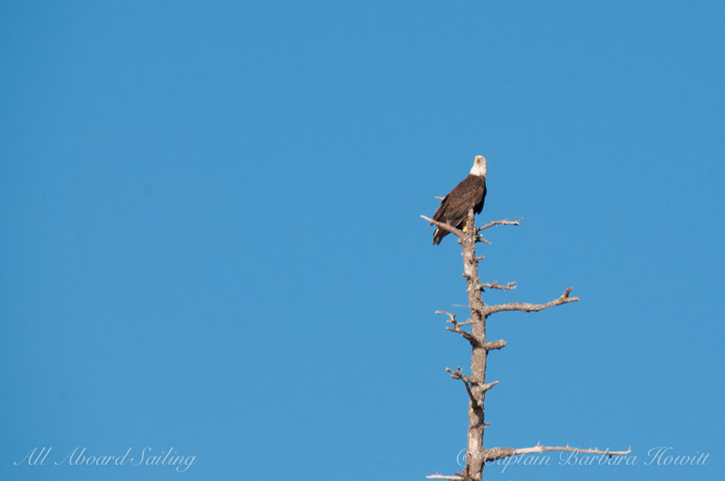 Bald Eagle Roost San Juan Island