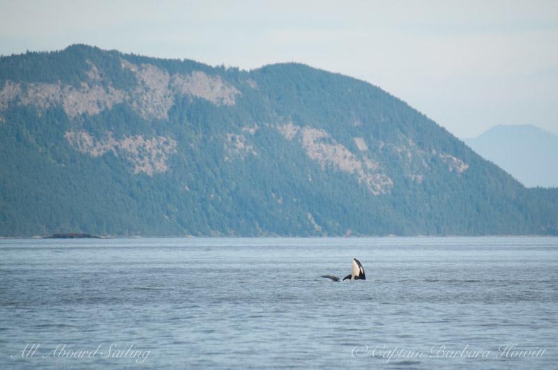 Tansient (Biggs) orca Spyhop