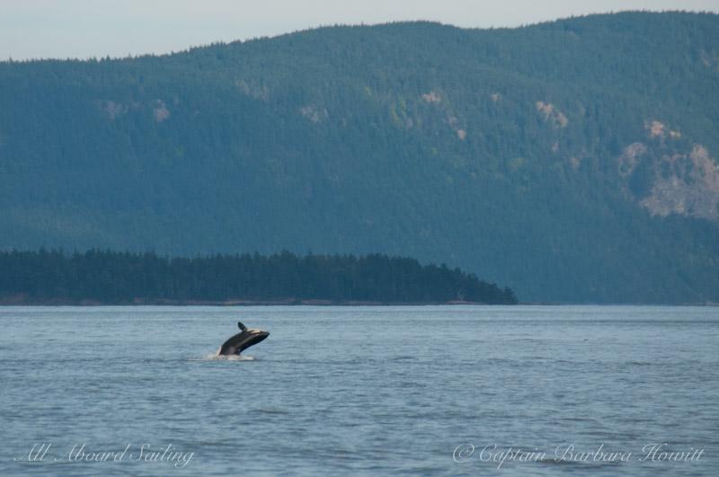 Tansient (Biggs) orca breach