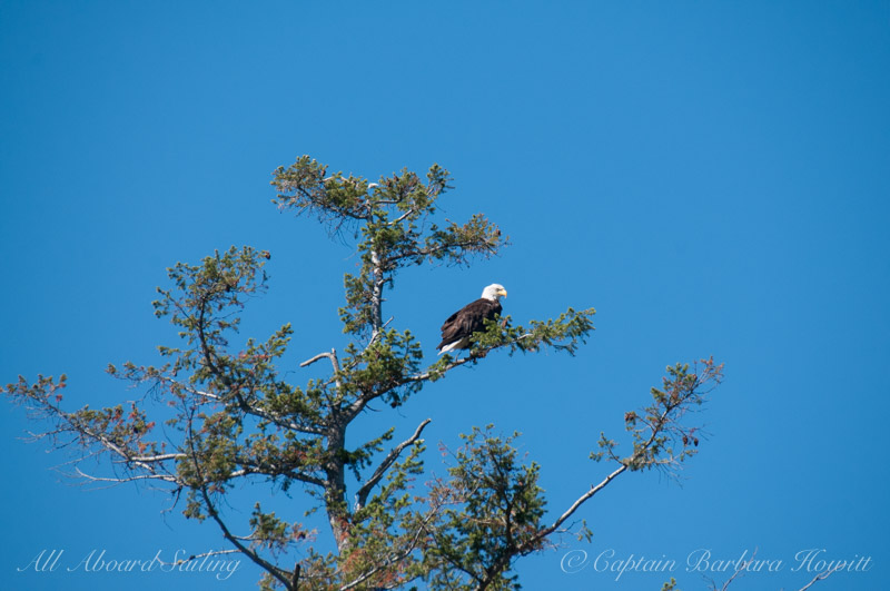 Bald Eagle watching from Douglas Fir