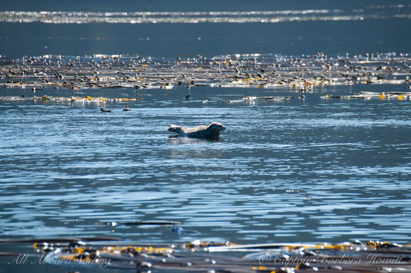 Harbor Seal warming in sunshine, kelp forest at shoreline of Cactus Islands, San Juan Islands