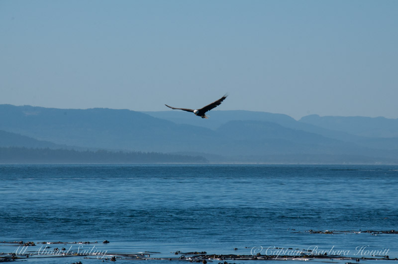 Bald Eagles flight Haro Strait, San Juan Islands