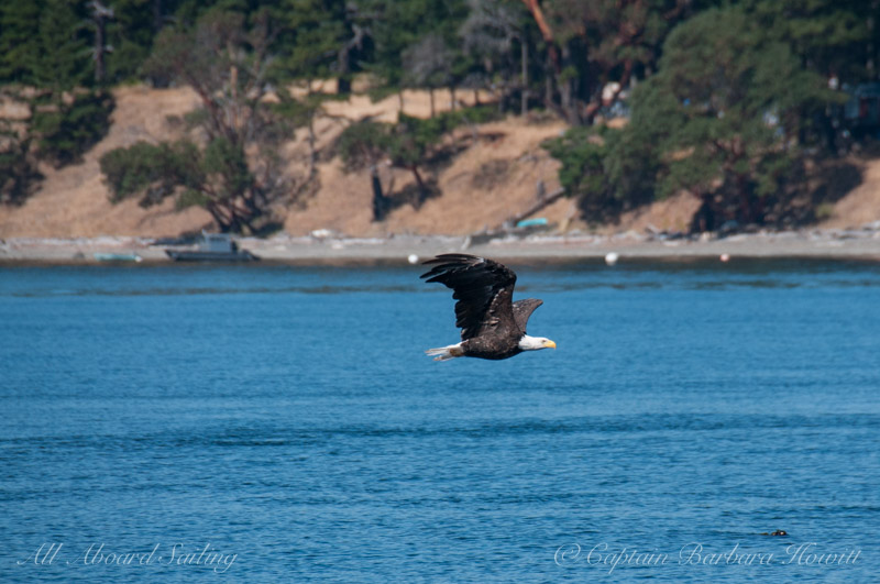 Bald Eagle flight San Juan Islands