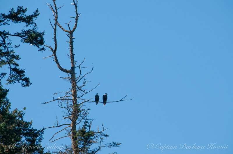 Pair of Bald Eagles roost Spieden Island, San Juan islands