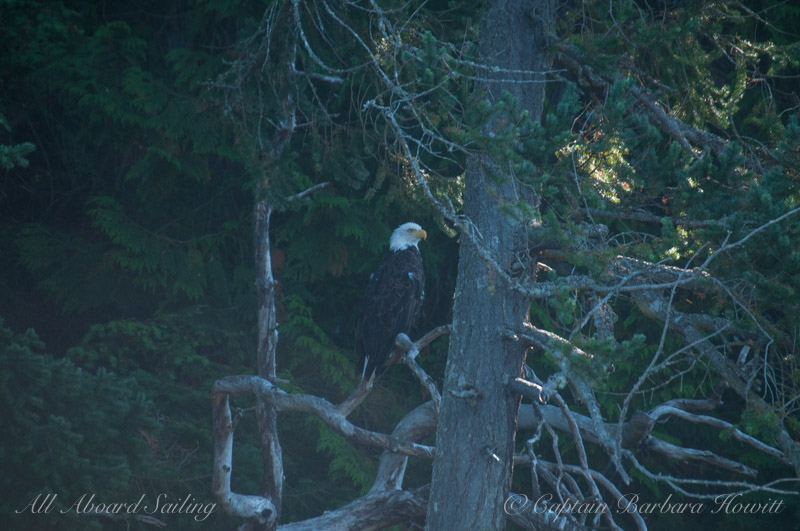 Bald Eagle, Spieden Island, San Juan islands