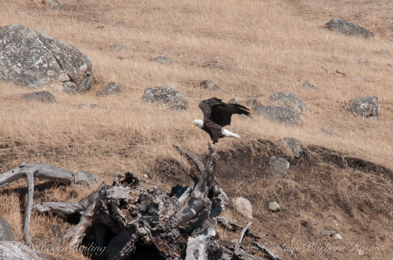 Bald Eagle lands, Spieden Island, San Juan islands