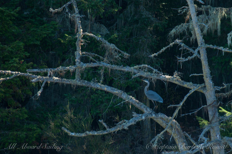 Great Blue Heron, San Juan Island