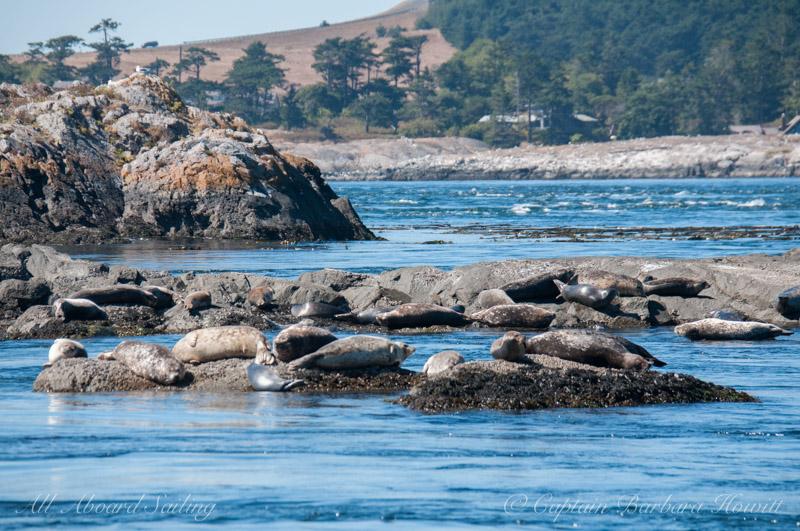 Harbor Seals San Juan Island
