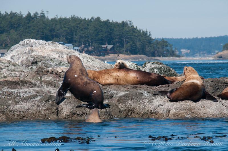 Steller Sea Lions, Whale Rocks