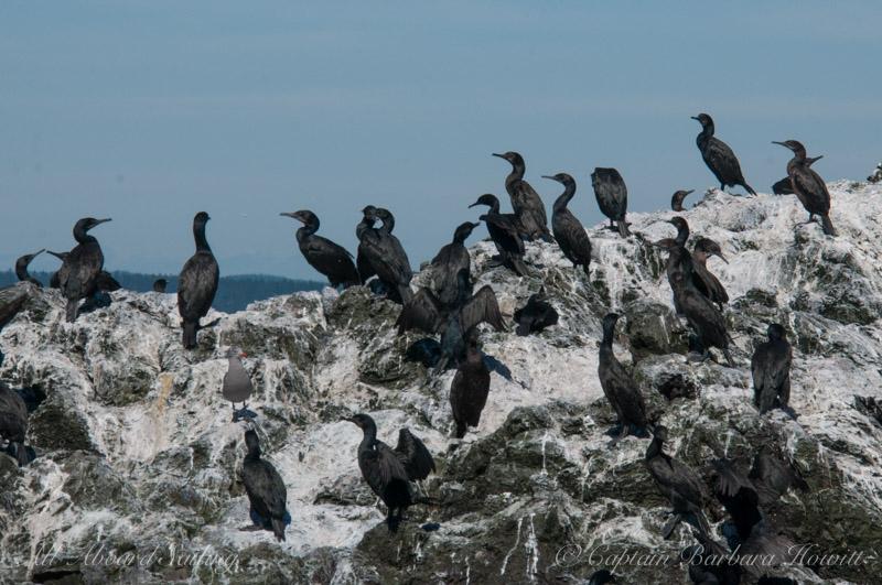 Pelagic and Brandts Cormorants, Whale Rocks, San Juan Islands