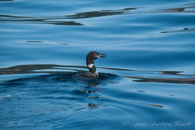 Common Loon, Cowlitz Bay, Waldron Island