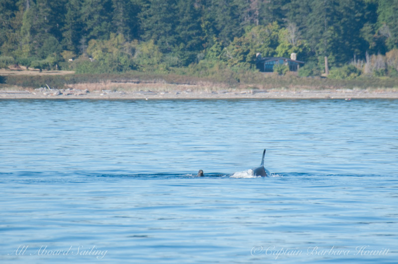 Transient Orca with Harbor Seal