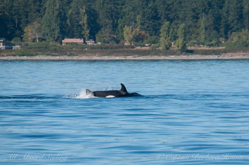Transient Orca calf hunting harbor seal