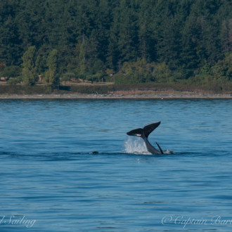Sail around San Juan Island with T65A Transient Orcas, a Loon, and an Osprey
