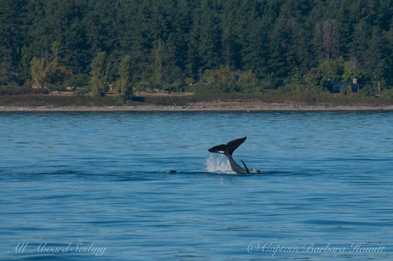 Transient Orca tail slap hunting harbor seal