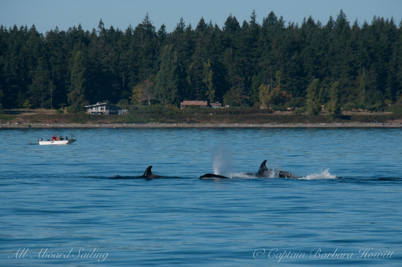 T65A s Transient Orca family hunting harbor seal