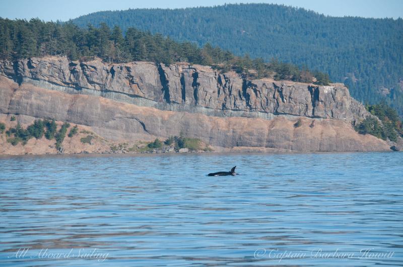 Transient Orca, Point Disney Waldron Island