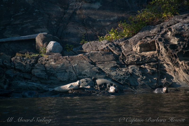Harbor seals, honeycombed sandstone of Flattop Island, San Juan Island