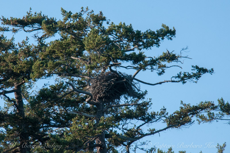 Bald Eagle Nest, San Juan Island
