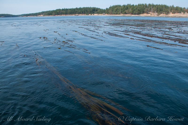 Kelp Forest at the Cactus Islands, San Juan Islands Sailing