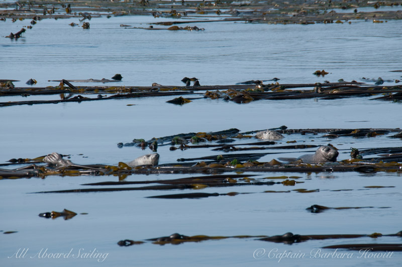 Harbor seals laying on Bull Kelp, Cactus Islands