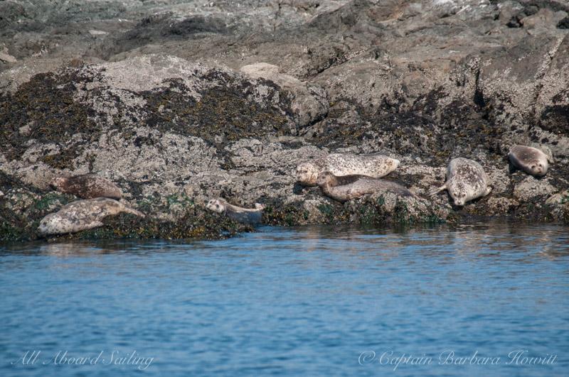 Camouflaged Harbor Seals