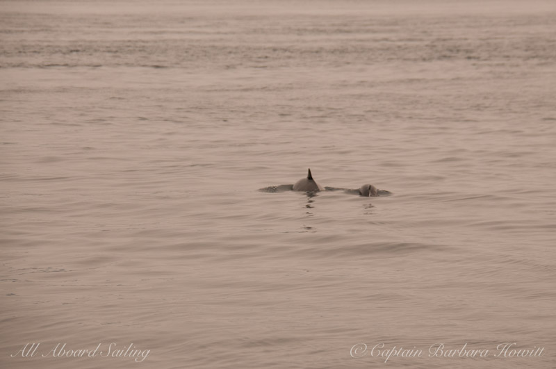 Harbor Porpoise surface in haze of forest fires