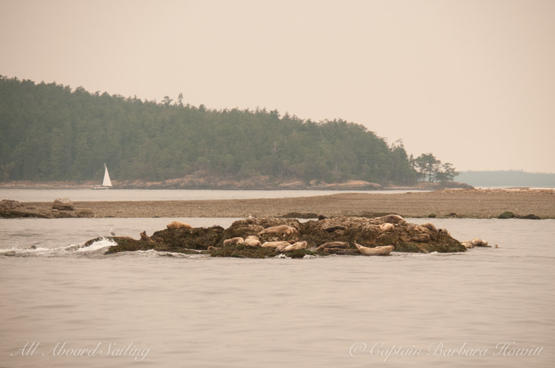 Harbor Seals hauled out on Yellow island. Haze in air from Forest fires