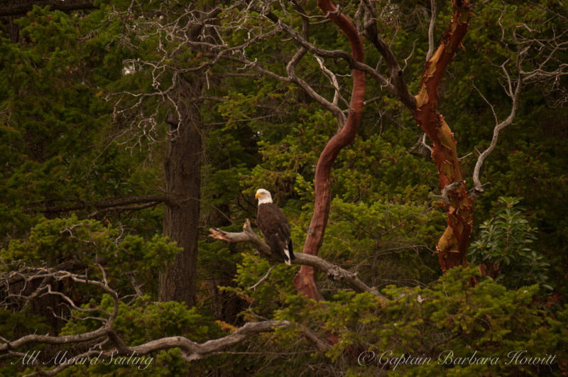 Bald Eagle in Madrone
