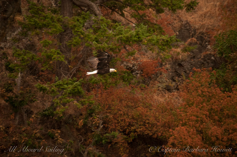Bald Eagle, Presidents Channel forested shoreline, Orcas Island. Haze in air from Forest Fires