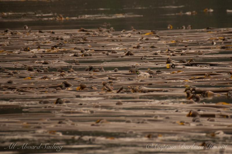 Harbor Seal in Bull Kelp