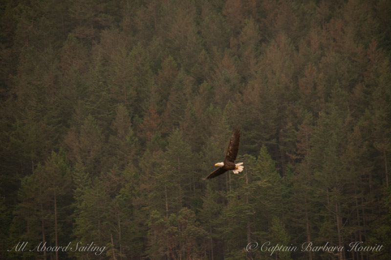 Bald Eagle in Flight with Forest scape. Haze in air from Forest Fire