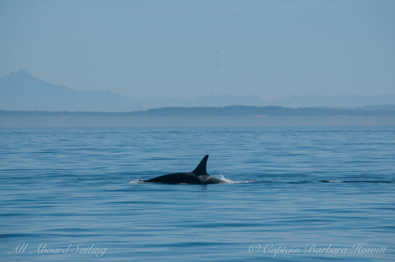L94 Calypso chasing a fish, South from Salmon Bank