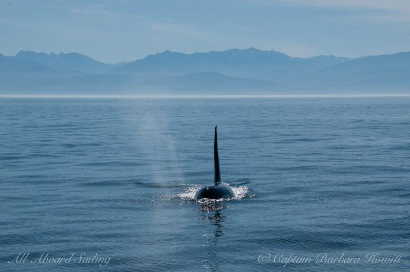 Southern Resident Orca L41 Mega