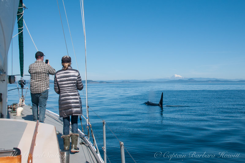 Whale watching Southern Resident Orca L41 Mega