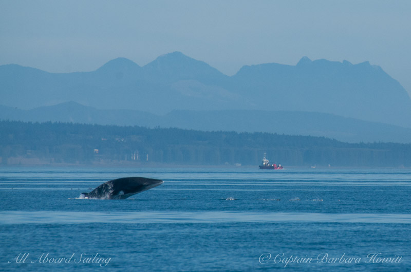 Minke Whale Breaches near to the Southern Resident Orcas  L25 Ocean Sun and L41 Mega