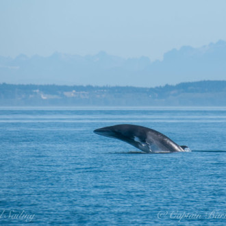 L12s with breaching Minke Whales
