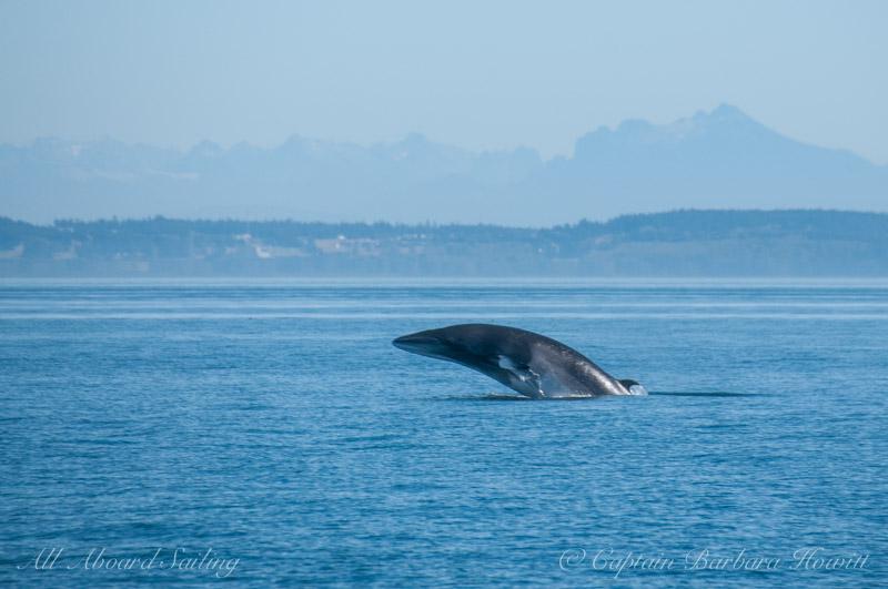 Breaching Minke Whale, San Juan Island