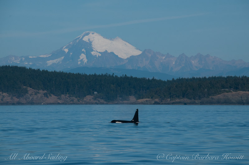 L85 Mystery Southern Resident Orca with Mount Baker