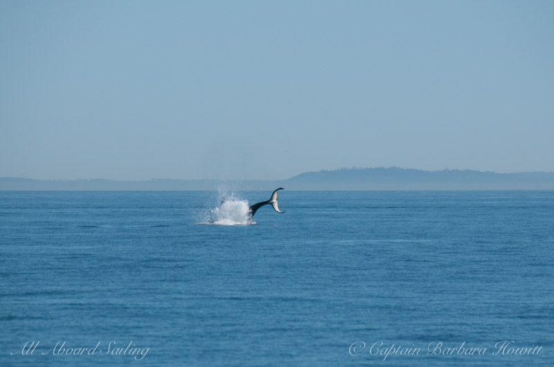 L85 Mystery Southern Resident Orca Cartwheels as Wave runners, Jet Skis, approach